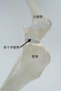 前十字靭帯